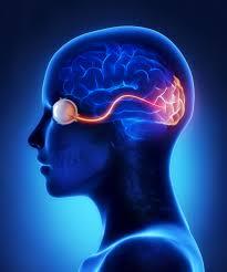 optic nerve in the brain